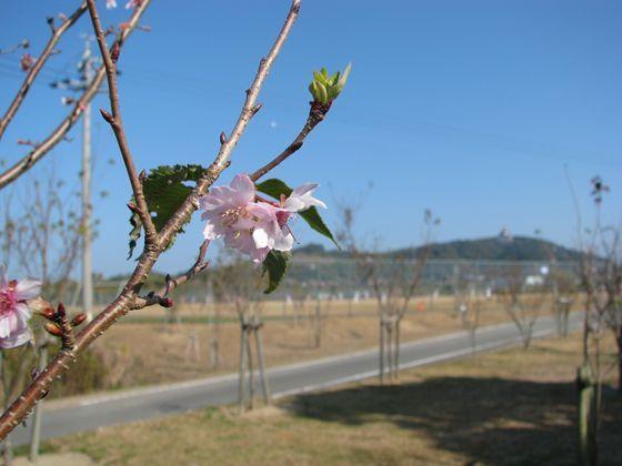 網のブログ-桜