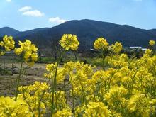網のブログ-菜の花
