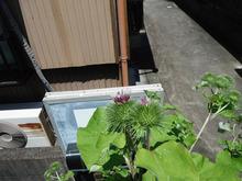 網のブログ-ごぼうの花