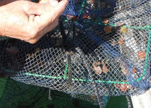 網のブログ-ヒオウギ稚貝