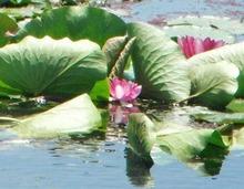 網のブログ-ハスの花