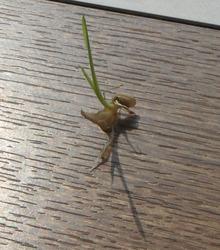 網のブログ-発芽玄米