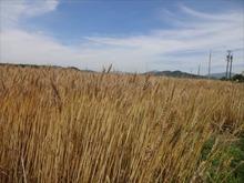 網のブログ-麦畑