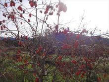 網のブログ-柿の木