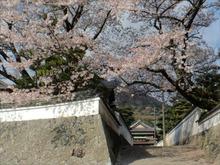 神宮道場の桜