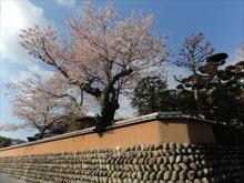ますたねさんちの桜