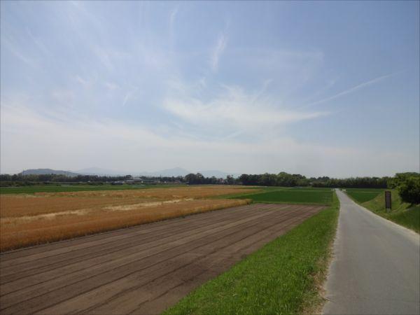 麦穂が風になびく