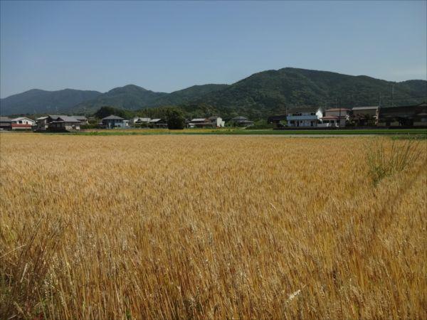 麦の季節とか雑多なこと