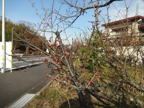 梅と旧正月と