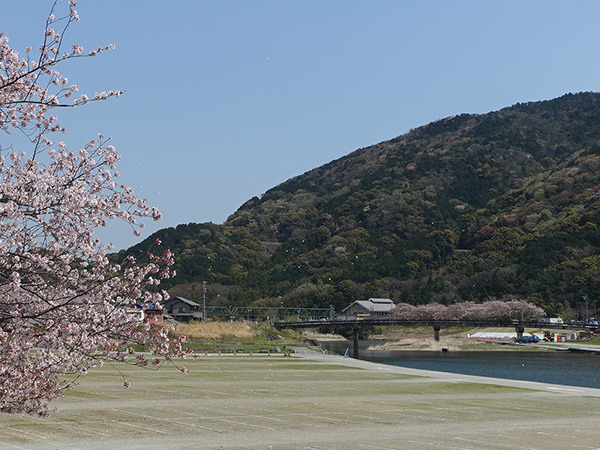 桜と暴風雨
